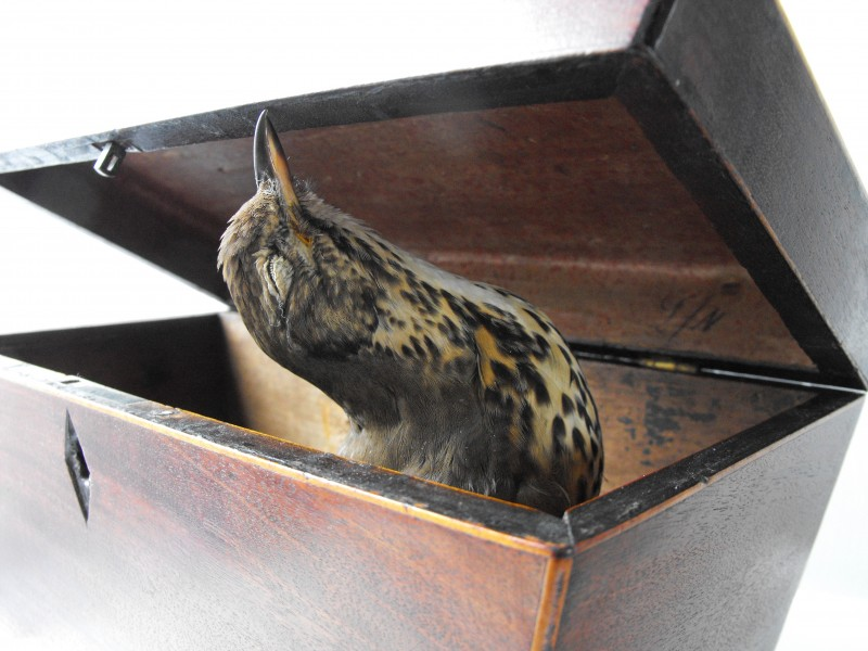 Premonition, A Song of Parting, Signal Arts Centre, taxidermy & Georgian tea caddy, 2010
